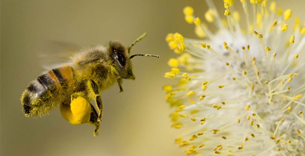 пыльца